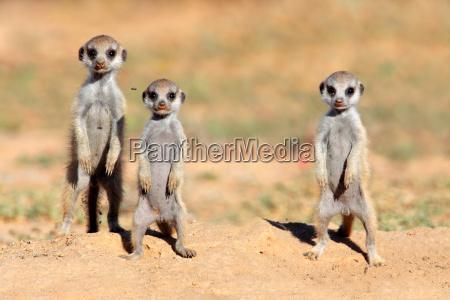 bambini meerkat