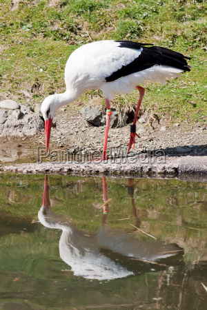storch is reflected in water