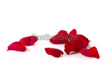 rose foglie