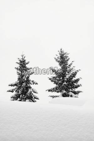 albero inverno abete nevoso conifera paesaggio