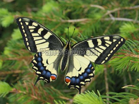 farfalla animali conifera visione dallalto coda
