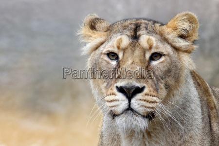 panthera, leo, -, il, leone, (the - 8722646