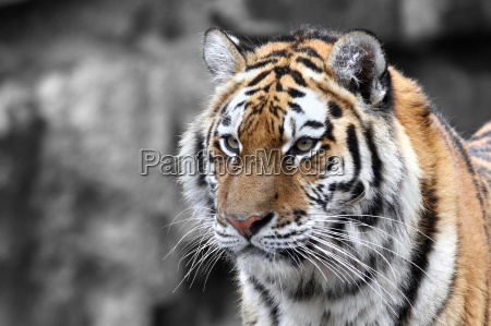 panthera tigris la tigre the