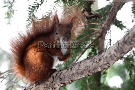 lo scoiattolo sciurus vulgaris