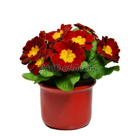dark red primrose in flower pot