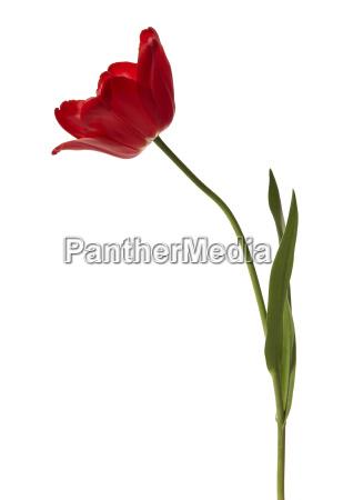 rilasciato fiore primavera impianto tulipano appartato