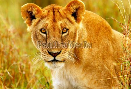 animale africa kenia natura africano safari