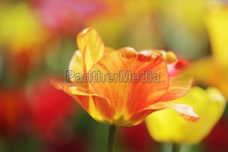 yellow red tulip in closeup