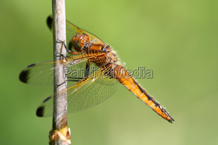 ambiente animali libellula libellule canna natura