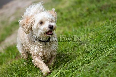 cane di razza mista nasser