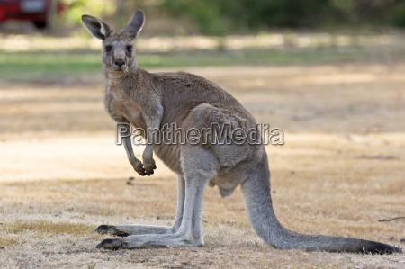 canguro gigante grigio australia