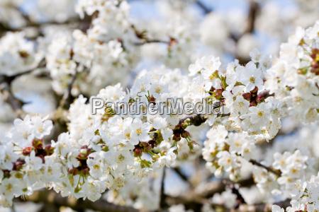 fiori di ciliegio bianco su un