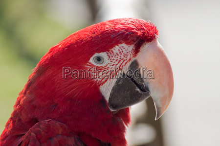 portrait of a bright red macaw