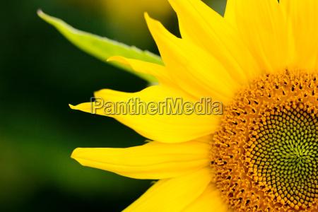 fiore fioritura flora girasole impianto centro