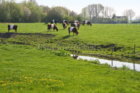 olanda paesi bassi mucche paese campi
