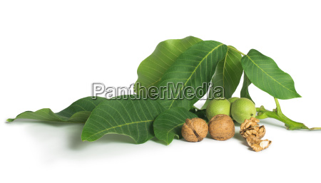 walnuts and branch with leaves white