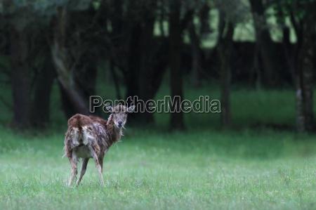 il cervo capreolus capreolus