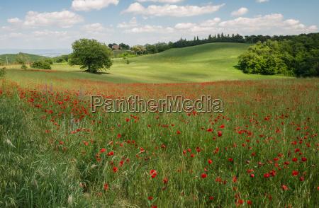 fioritura fiore fiori papavero papaveri paesaggio