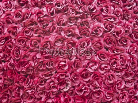 fiore rosa flora mondo vegetale romanza