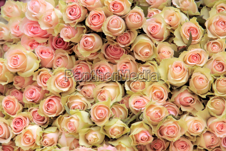 thick waist with bright pink roses
