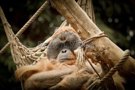 relax animale scimmia brama regno animale