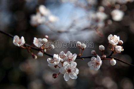 primo piano close up albero fioritura