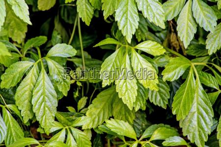 cavolo erba pianta medicinale cucurbitacea