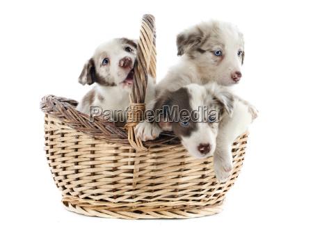 cestino cane cani tre cucciolo gruppo