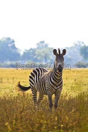animale selvaggio zebra africano safari
