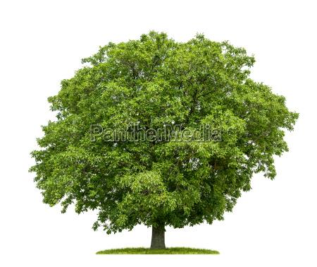 albero di noce liberato su sfondo