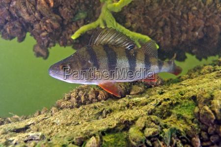 pesce sottacqua natura predatore acqua dolce