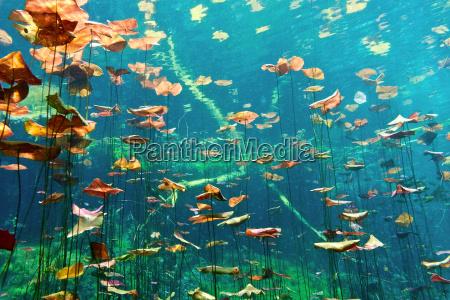 giglio, pads, nel, cenote, aktun, ha - 9730438