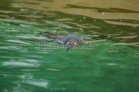 pinguino del re aptenodytes patagonicus