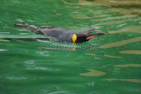 king penguin aptenodytes patagonicus