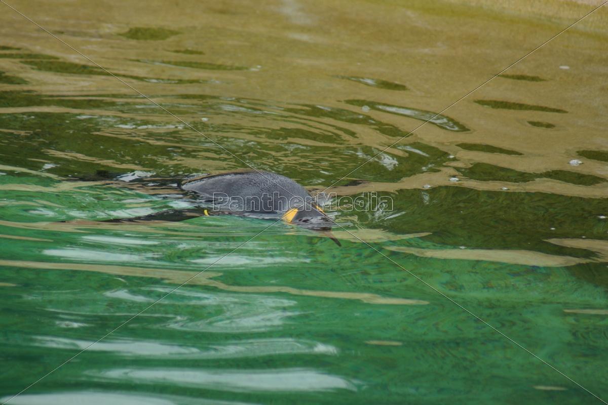 pinguino, del, re, -, aptenodytes, patagonicus - 9757794