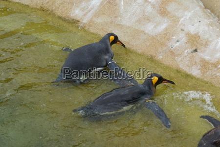 enorme animale uccello artico selvaggio nero