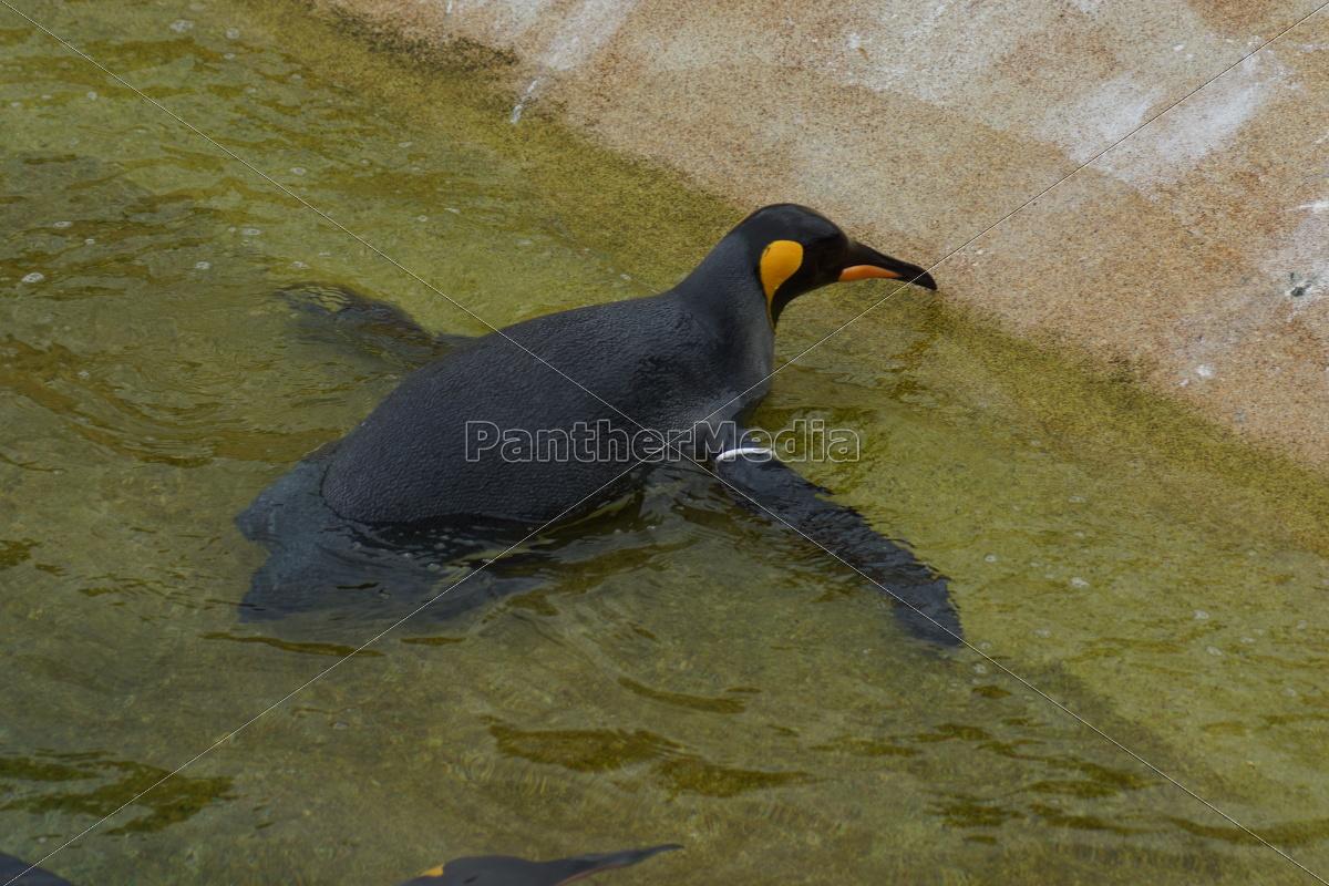 pinguino, del, re, -, aptenodytes, patagonicus - 9758018