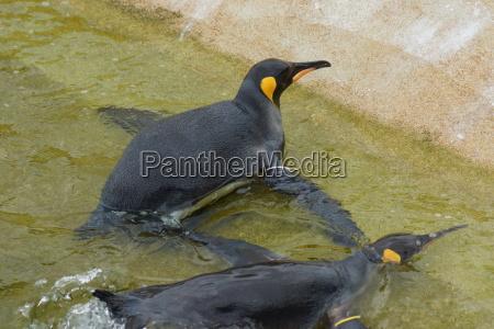 pinguino, del, re, -, aptenodytes, patagonicus - 9758020
