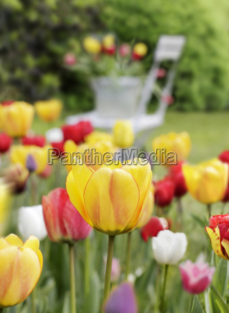 colorful tulips in home garden