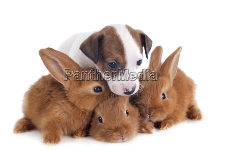 jack russel terrier e coniglietti