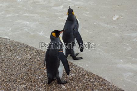 enorme grande grosso pinguino imperatore re
