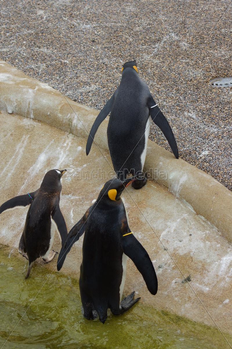 pinguino, del, re, -, aptenodytes, patagonicus - 9767148