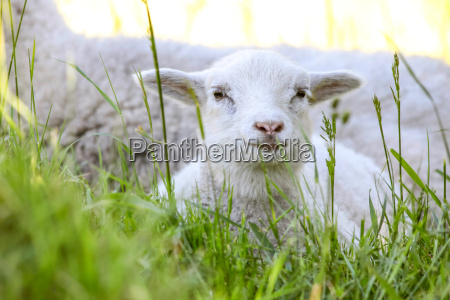 little lamb in the grass