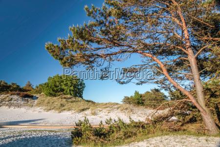 pine on the sandy beach