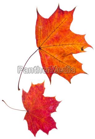 due foglie dacero rosso autunnale