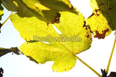 feigenblatt in herbst