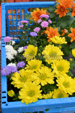 blue basket with chrysanthemums and asters