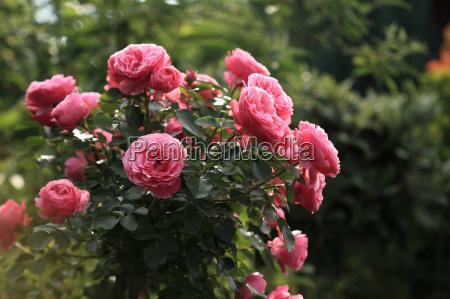 giardino fiore fioritura fiori rose giardini