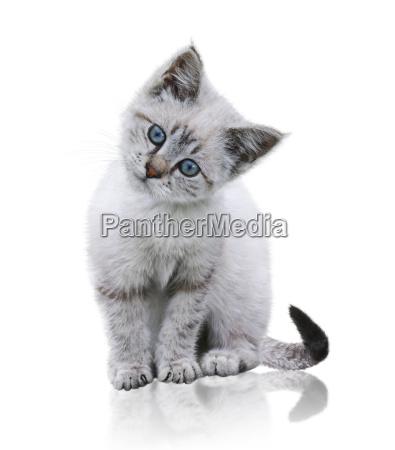 bianco e brown kitten
