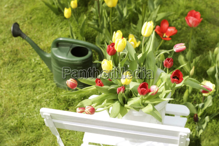 tulips on garden chair with watering